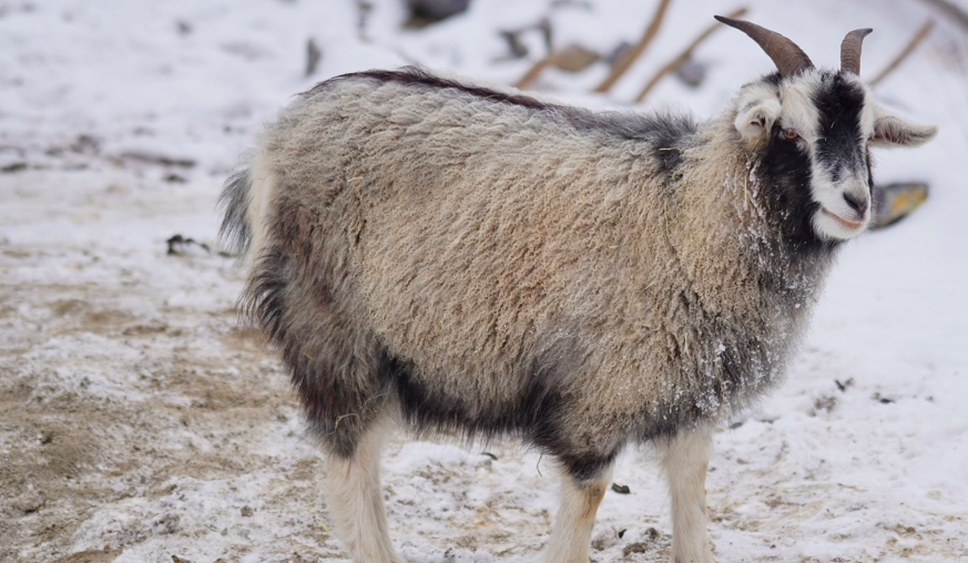 goat's fleece becomes cashmere yarn
